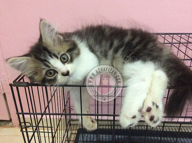Mixed breed persians kitten
