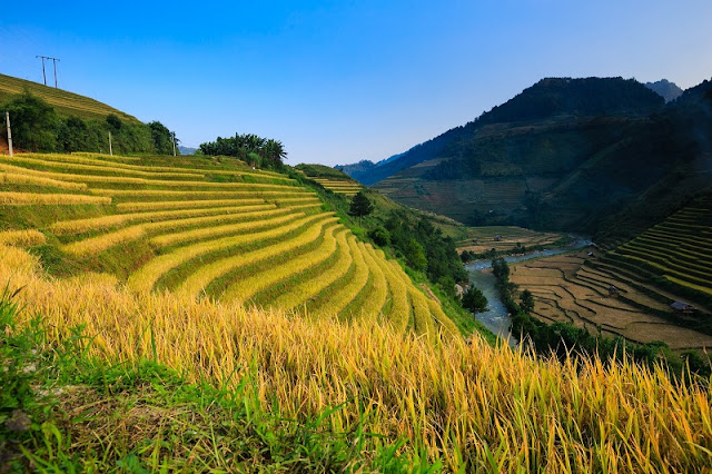 Surprise At The Beauty Of North Vietnam In Ripe Rice Season