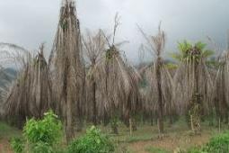 3 Tata cara Buat Menewaskan Tumbuhan Tumbuhan KELAPA SAWIT TANPA Wajib MENEBANG