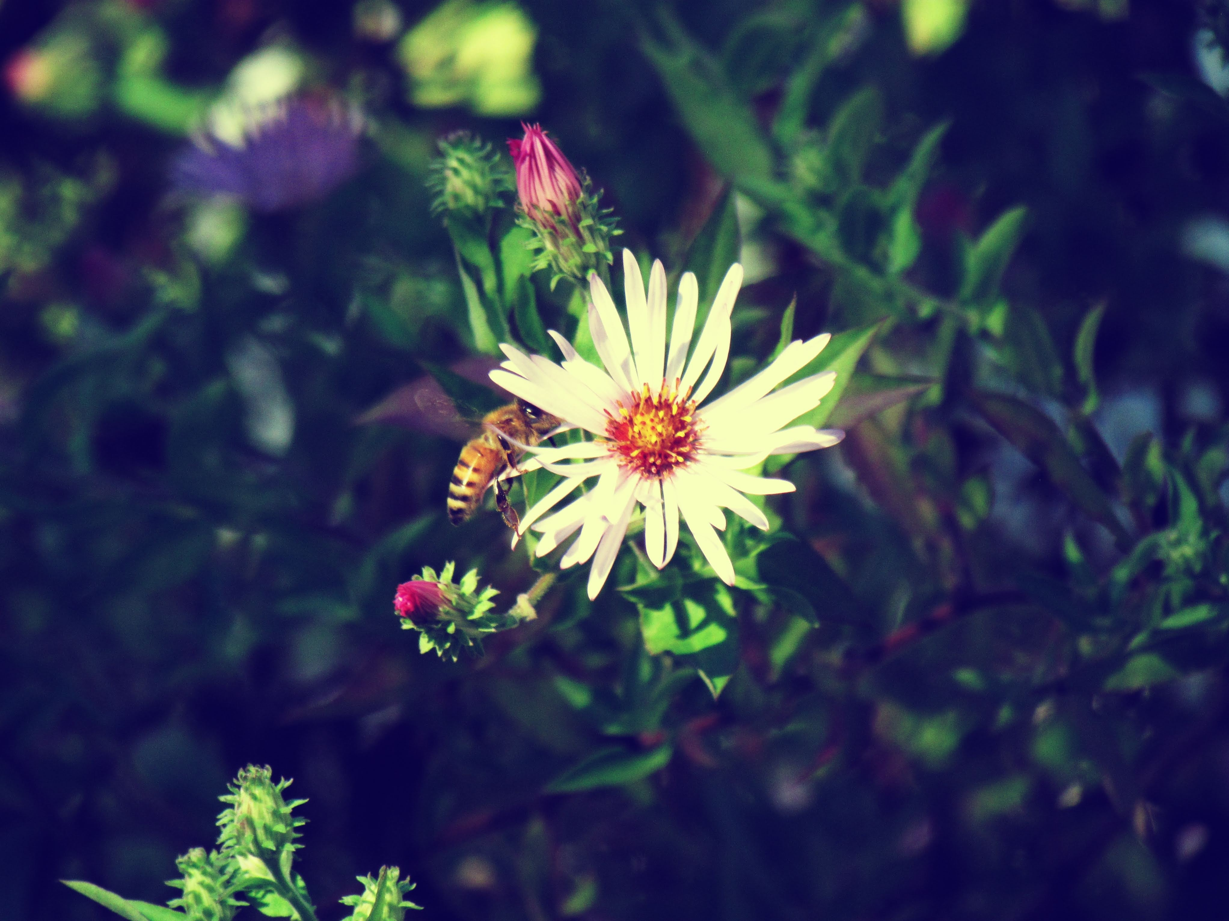 A cute bee buzzing around a flower and pollinating it for the spring blooms in a Florida butterfly garden