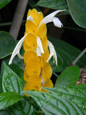 Golden Shrimp Plant Pachystachys lutea at the Allan Gardens Conservatory by garden muses-not another Toronto gardening blog