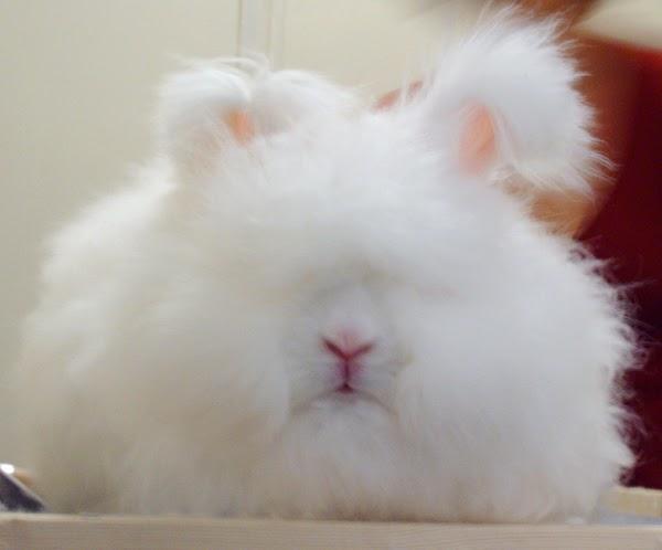 english angora rabbits - photo #4