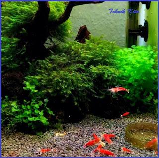 udang hias red shrimp