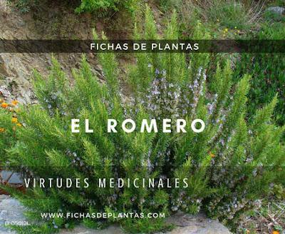 Romero plantas aromáticas