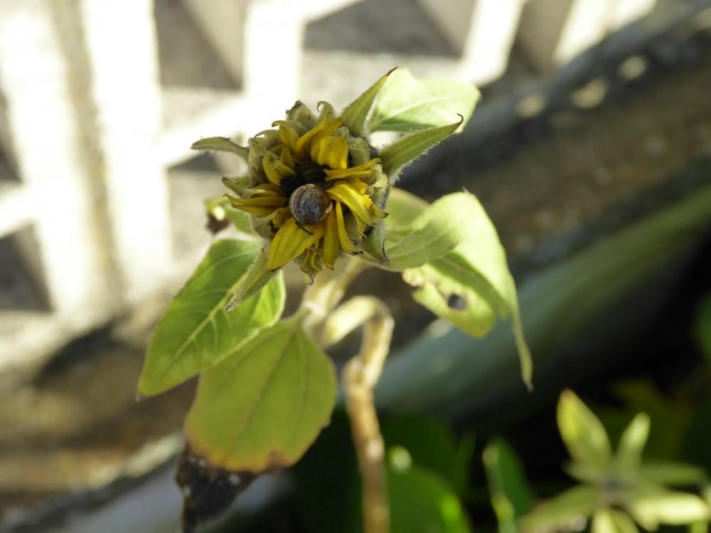 Snail on sunflower