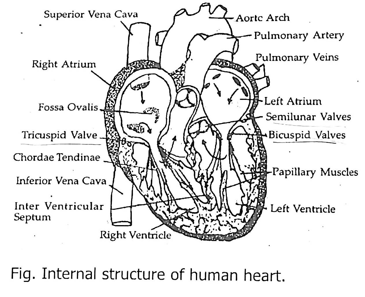 The Internal Structure Of Human Heart