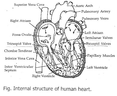 internal structure of human heart class 10, describe the internal structure of human heart class 10, internal structure of human heart class 12, internal structure of human heart diagram, describe the structure of human heart class 10, labelled diagram of internal structure of human heart, external structure of heart, simple structure of heart, external structure of heart, internal features of heart ppt, how to draw internal structure of heart, external view of human heart, structure of human heart with labelling,