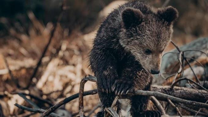 Emberségből jeles: medvekölyköt mentettek a román rendőrök – fotó