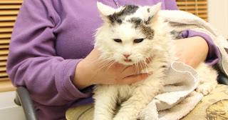 6 razones por las que debería adoptar un gato mayor