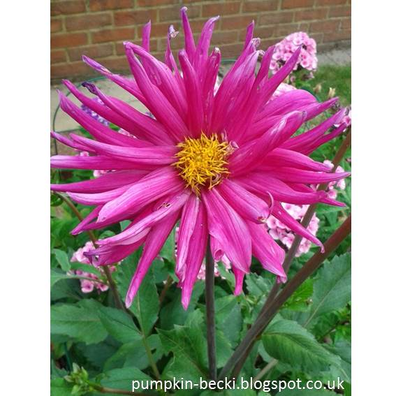 Cactus Dahlia Purple Gem flower