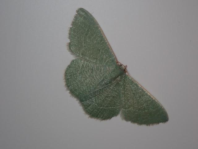 Phaiogramma etruscaria