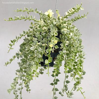 หัวใจล้านดวงด่าง Dischidia ruscifolia million hearts variegated