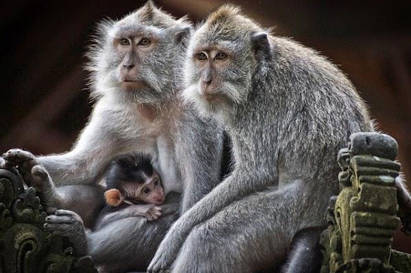 ¿Cómo evolucionó el habla de los primates?