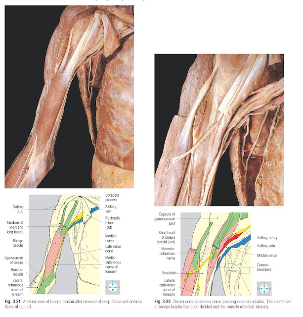 Anterior view of biceps brachii after removal of deep fascia and anterior fibres of deltoid.