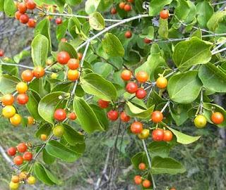 Image result for Pohon Strychnine