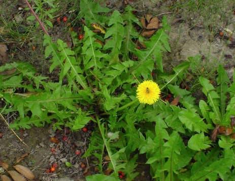 الهندباء أعشاب طبيعيه لعلاج زيادة الأملاح في الجسم