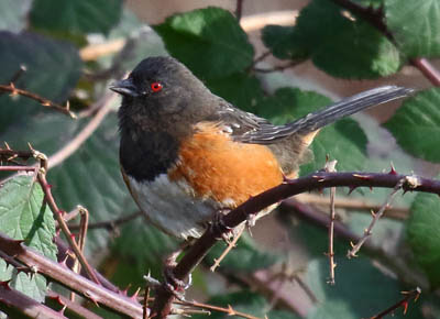 Photo of Spotted Towhee in blackberry bushes