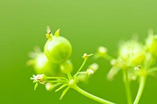 Fleur de coriandre Flick