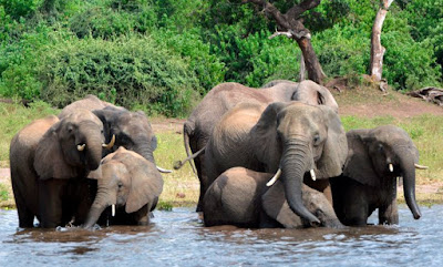 Botswana lifts ban on elephant hunting and poaching