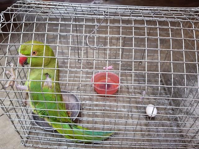 पिंजरे में 4 साल से अकेली तोता ने दिए अंडे