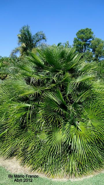 palmito-espanhol, palmeira-leque-da-europa, palmeira-das-vassouras, leque-do-mediterrâneo, palmeira-moinho-de-vento, Palm Fan Europeia.
