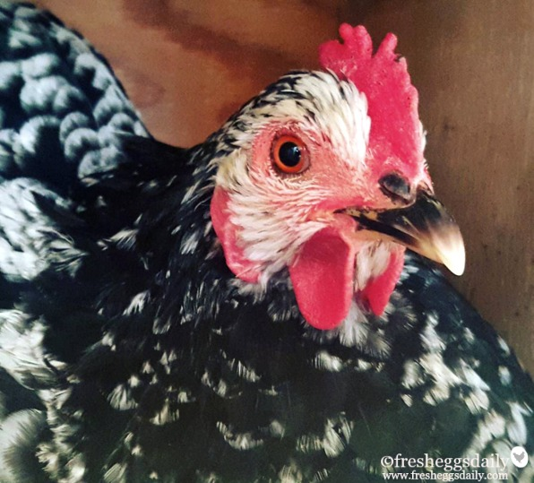 What Can my Chickens' Comb Color Tell Me? | Fresh Eggs Daily®