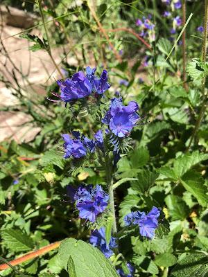 [Boraginaceae] Echium vulgare – Viper's Burgloss (Viperina azzurra comune)