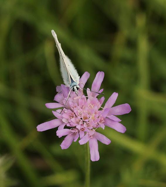 Polyommatus daphnis, Zahnflügel-Bläuling