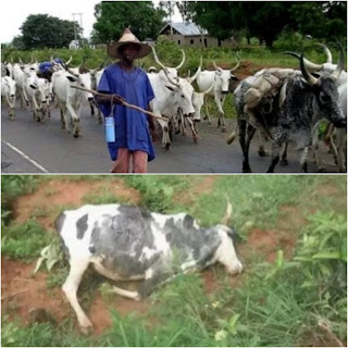 Thunderstorms Kill 17 Cows in Osun State