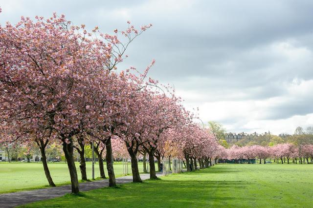 Mùa Xuân cũng là khoảng thời gian tuyệt vời để ghé thăm Edinburgh. Ở thủ đô Scotland, bạn sẽ tìm thấy hoa anh đào ở những địa điểm như công viên lớn The Meadows hay công viên Princes Street Gardens gần Lâu đài Edinburgh.