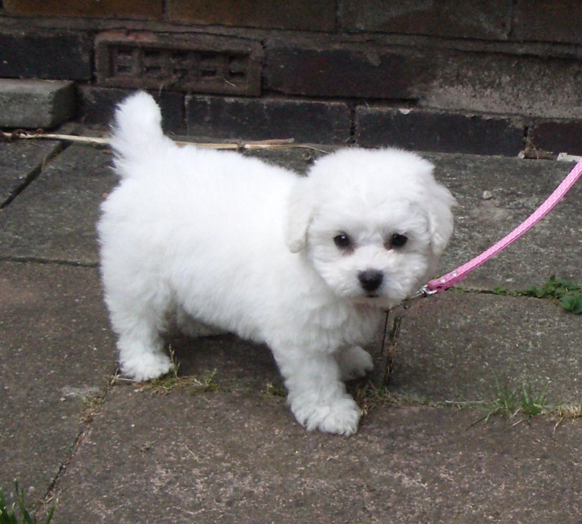 Cute Puppy Dogs: Cute bichon frise puppies