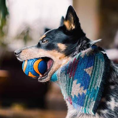 Smart Mini Blue Heeler Dog
