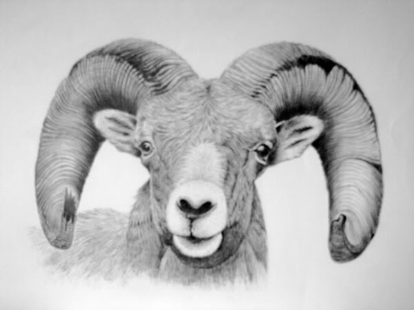 06-Bighorn-Sheep-Kelly-Six-www-designstack-co