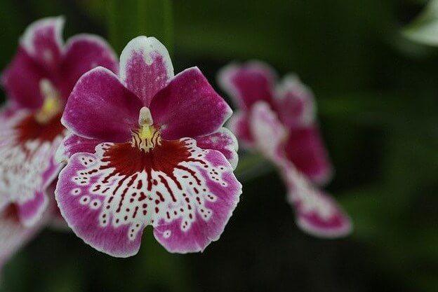 Gambar Bunga Anggrek Miltonia