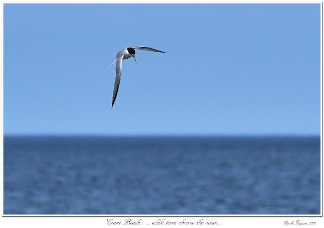 Crane Beach: ... while terns observe the ocean...