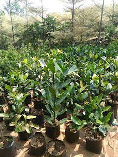 Jual Pohon Garcinia Cambogia | Pohon Nangka Taiwan | Pohon Obat Pelangsing