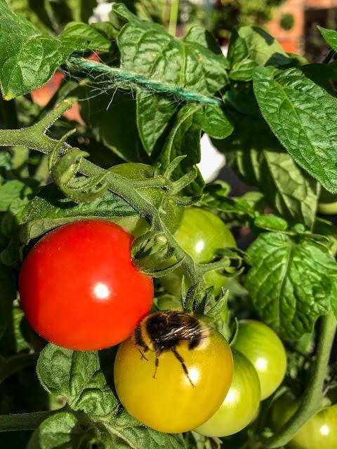 humla, tomater, tinytim