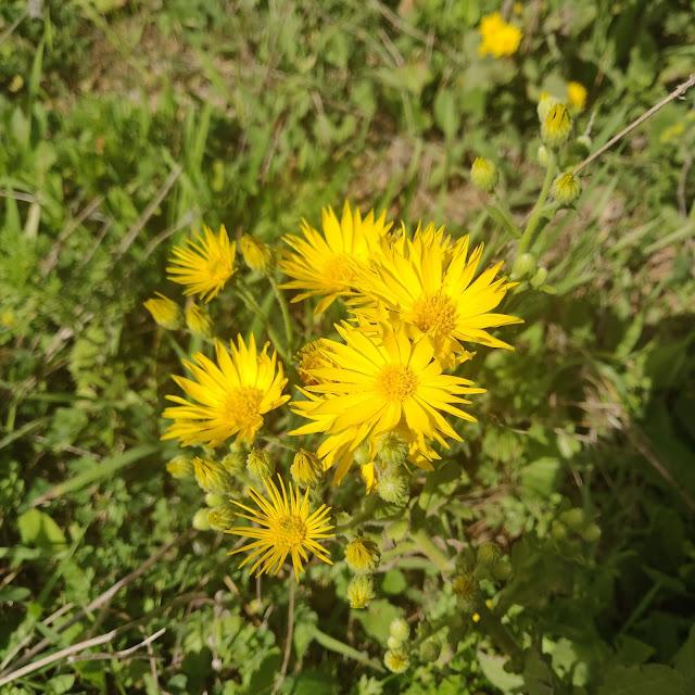 טיון צהוב