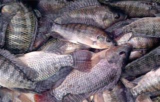 Harga Supplier Jual Ikan Nila Bibit dan Konsumsi Palangkaraya, Kalimantan Tengah