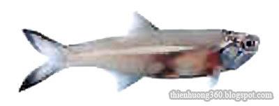 Cá cơm săng