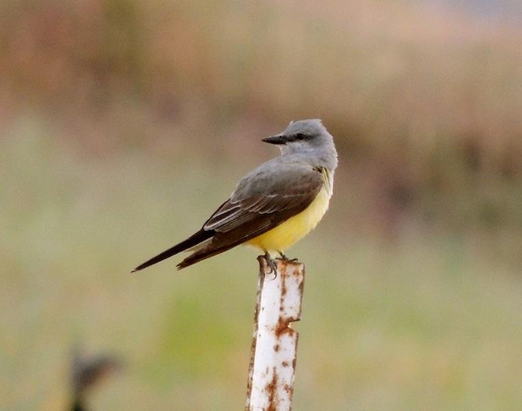 Mnkcusa Woodland Wa Wa State Bird