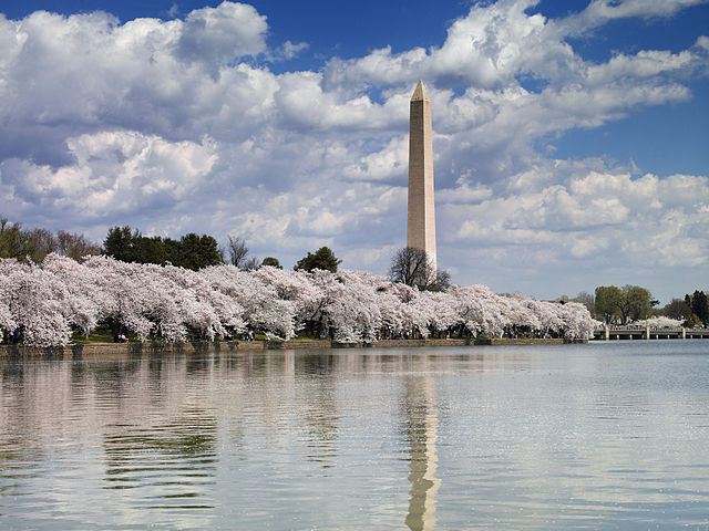 Cherry Blossom Bloom and Washington Memorial - Washington DC