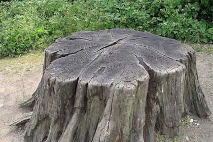 Cara Menghancurkan Potongan Pohon Hingga Akar Dengan Mudah