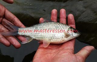 Essen Ikan Nilem Galatama