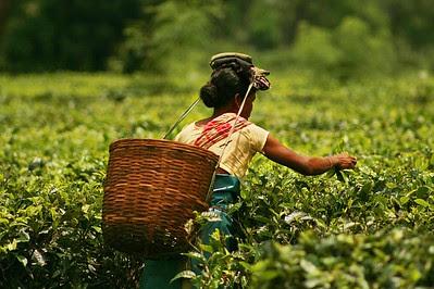 economic potential, Tea garden in northeast India