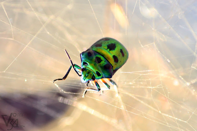 A Jewel bug or metallic shield bug trapped in spider web