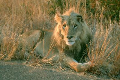 lion, safari, Kruger National Park, South Africa