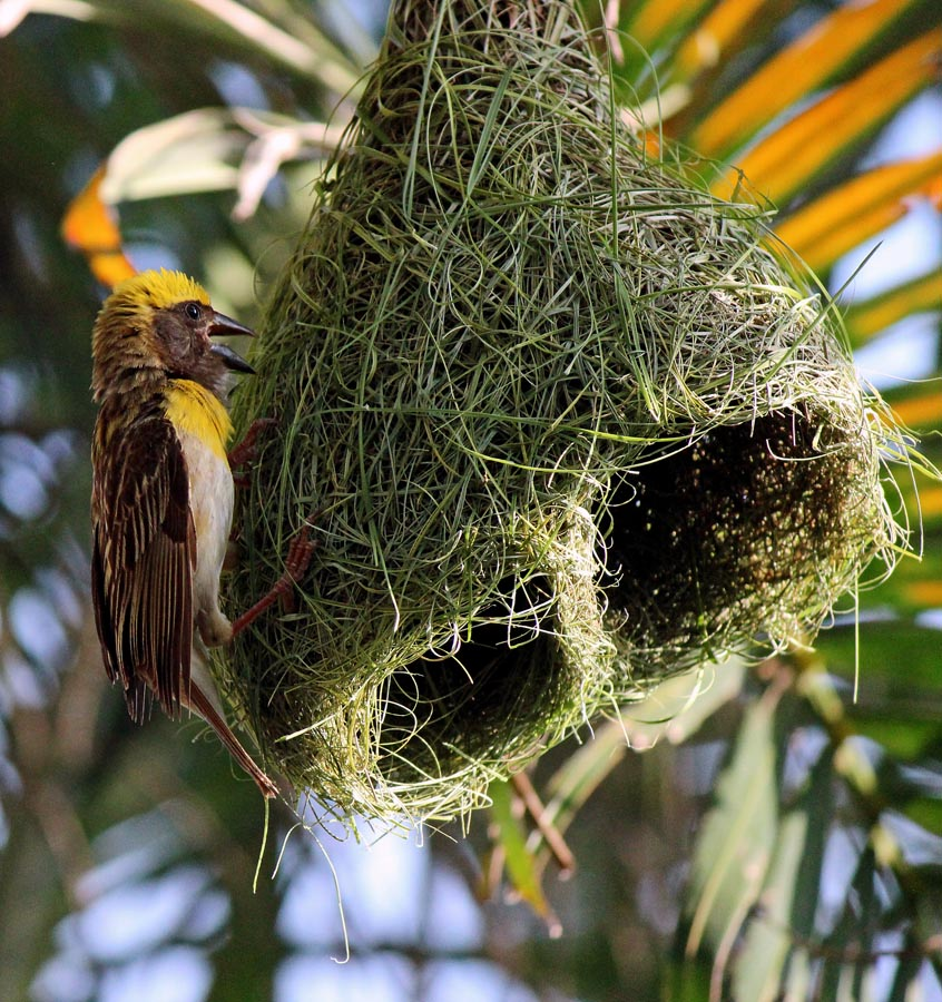 an Indian weaver bird