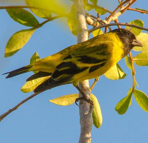 Birds World - Image of Hooded siskin - Spinus magellanicus