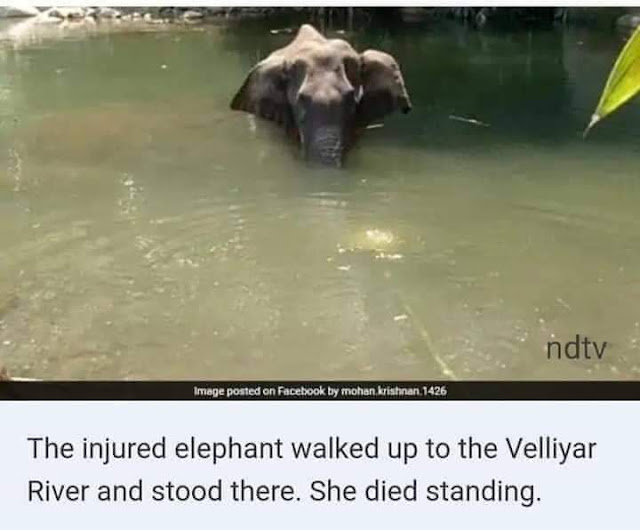 Elephant Who Ate Firecracker-Filled Pineapple Walked For Days In Pain